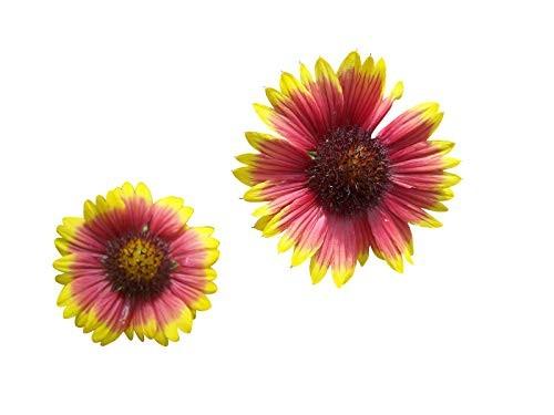 Kokardenblume -Gaillardia pulchella- 50 Samen
