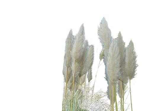 Pampasgras Weis 100 Samen