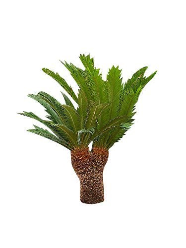 Cycas Palme - Cycas revoluta- 100 Samen