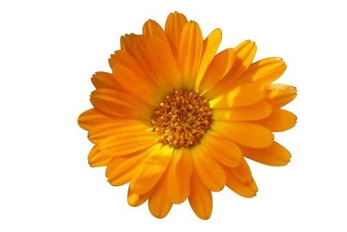 Ringelblume -Calendula officinalis- 250 Samen  Heilpflanze, Ölgewinnung und Salben