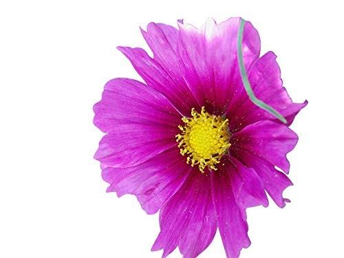 Cosmea Mix -Cosmos bipinnatus- 150 Samen