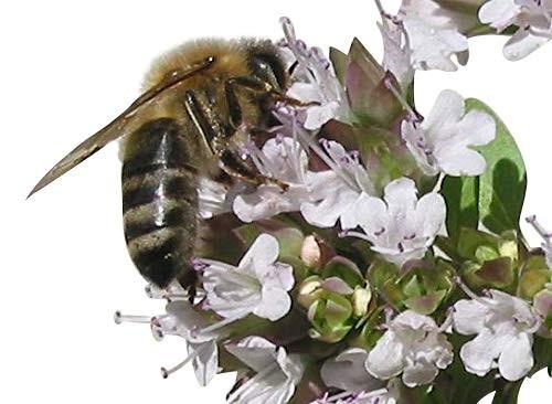 Majoran -Origanum majorana- 150 Samen