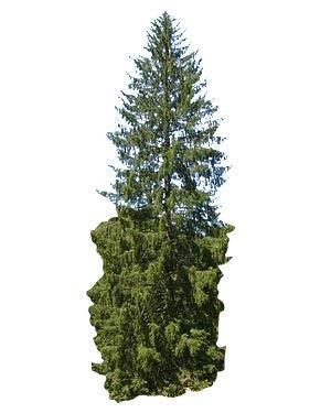 Gemeine Fichte -Picea abies- 30 Samen