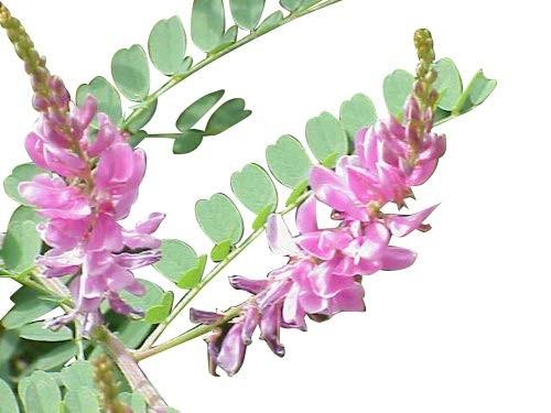 Indigopflanze -Indigofera tinctoria- 10 Samen