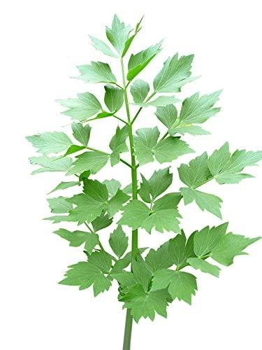 Liebstöckel , Maggikraut -Levisticum officinale- 50 Samen