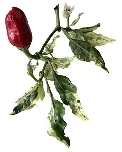 Fish Pepper Chili 10 Samen