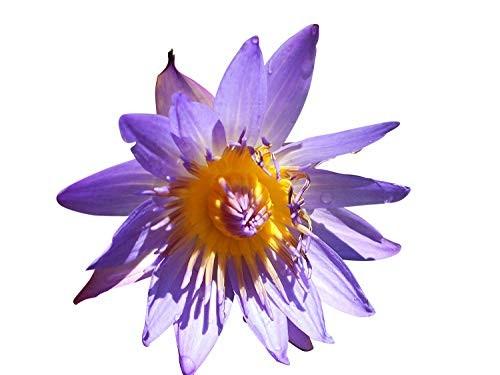 Tropische Violette Seerose -Nymphaea-  10 Samen