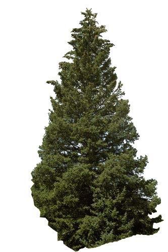 Stech-Fichte -Picea pungens- 1000 Samen
