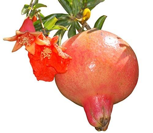 Granatapfel -punica granatum- 25 Samen