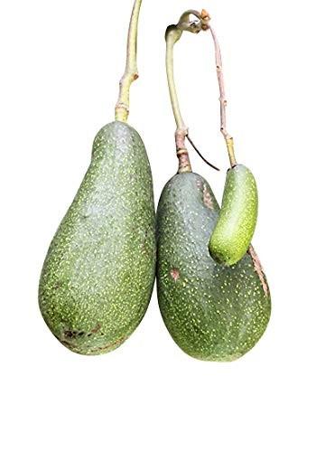 Avocado Baum -Persea americana- 1 großer Samen
