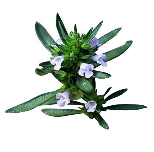 Sommer Bohnenkraut -Satureja hortensis- 150 Samen