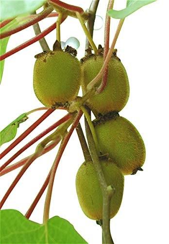 Kiwi -actinidia deliciosa- 50 Samen