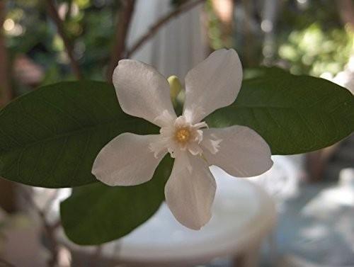 Wasser Jasmin -wrightia religiosa- 15 Samen
