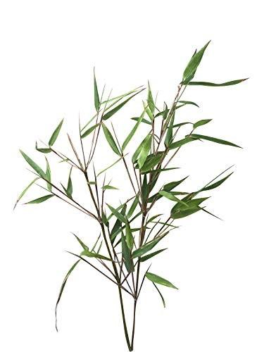 Muriel Hecken Bambus -Fargesia murielae- 15 Samen