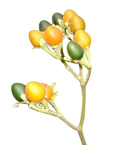 Zwerg Tamarillo -Cyphomandra abutiloides- 10 Samen