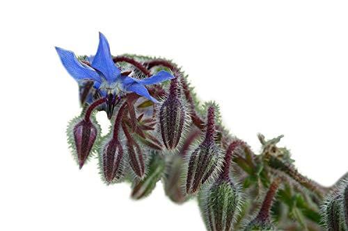 Borretsch -Borago officinalis- 50 Samen