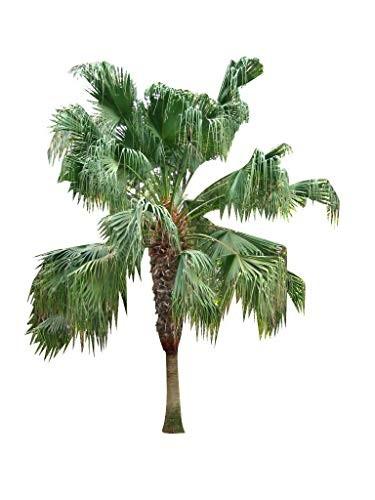 Chinesische Schirmpalme - Fächerpalme - Livistona 10 Samen
