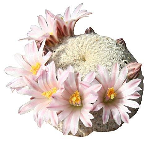 Mammillaria Mix 25 Samen
