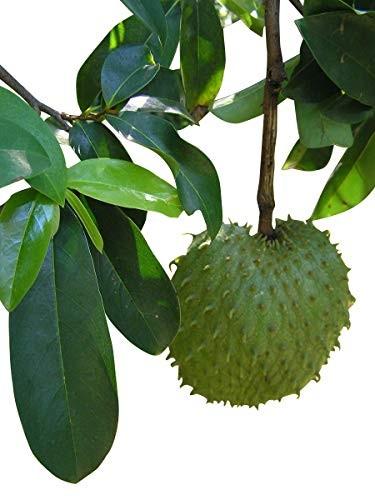 Guanábana -Stachelannone- (Annona muricata) 10 Samen