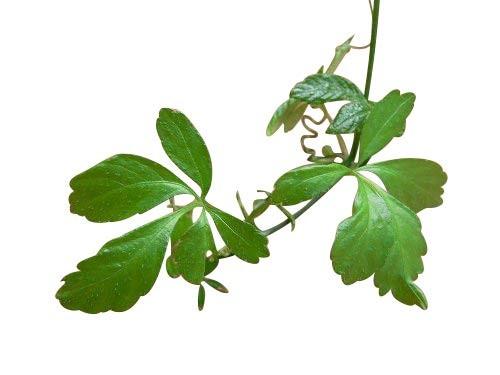 Jiaogulan -Gynostemma pentaphyllum- 100 Samen