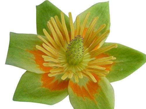 Tulpenbaum -Liriodendron tulipifera- 10 Samen