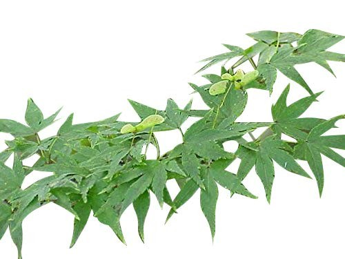 Fächer Ahorn -Acer palmatum- 1000 Samen