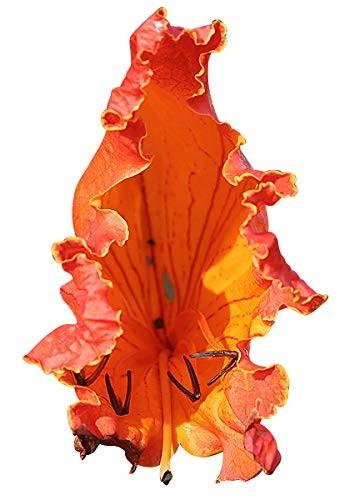 Afrikanische Tulpenbaum -Spathodea campanulata- 10 Samen