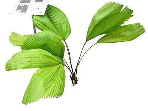Riesen Strahlenpalme -Licuala grandis- 10 Samen