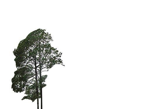 Himalaya Kiefer -Pinus roxburghii- 35 Samen