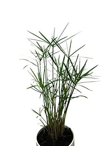 Zypergras -Cyperus alternifolius-  50 Samen