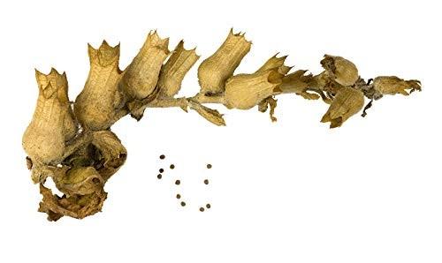 Echtes Schwarzes Bilsenkraut (Hyoscyamus niger) 50 Samen