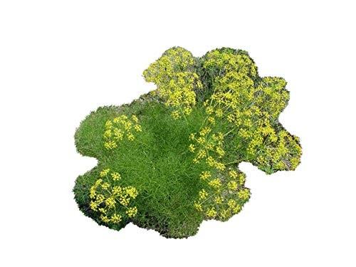 Fenchel -Foeniculum vulgare- 100 Samen