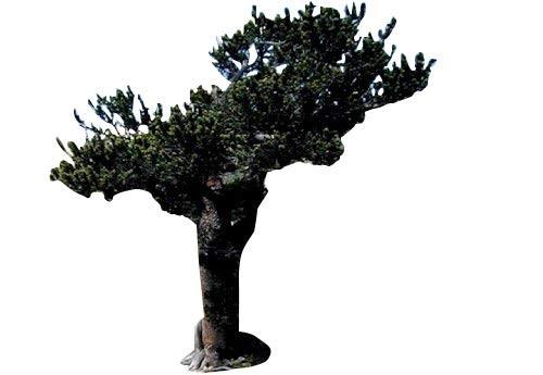 Grannen-Kiefer -Pinus aristata- 10 Samen