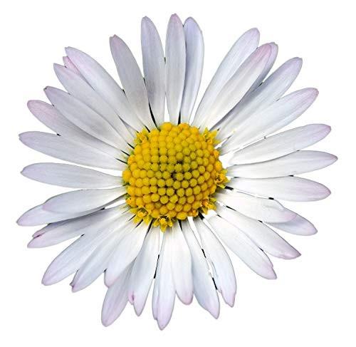 Gänseblümchen (Bellis perennis) 500 Samen
