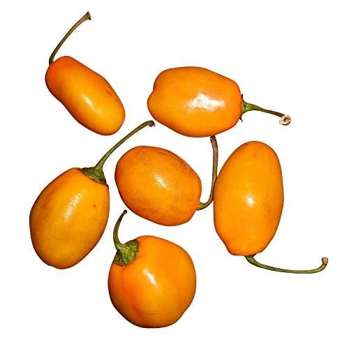 Baumchili -Locoto Orange- 10 Samen