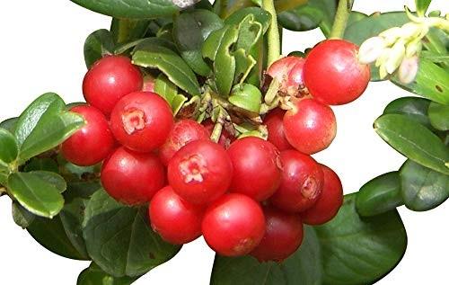 Wilde Preiselbeere -Vaccinium vitis-idaea- 10 Samen