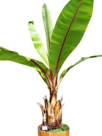 Schneebanane -ensete glaucum- 10 Samen -Winterhart-