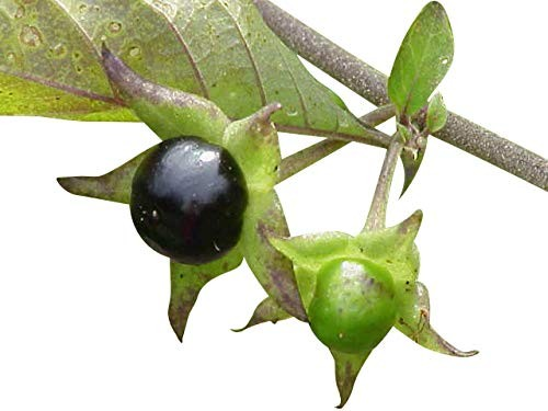 Schwarze Tollkirsche (Atropa belladonna) 10.000 Samen