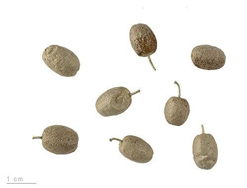 Ölweide- 20 Samen -Elaeagnus angustifolia- 20 Samen