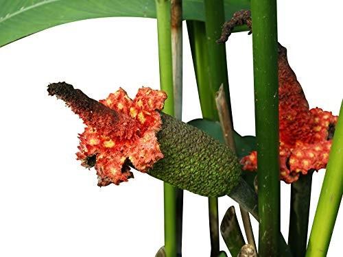 Panamahut Palme -Carludovica palmata- 10 Samen