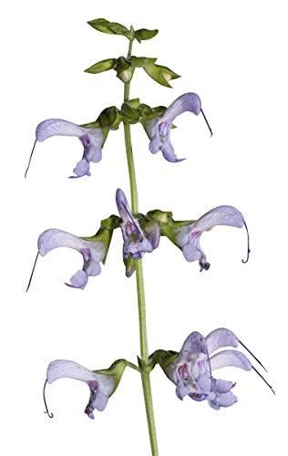 Rotwurzelsalbei -Salvia miltiorrhiza- 100 Samen