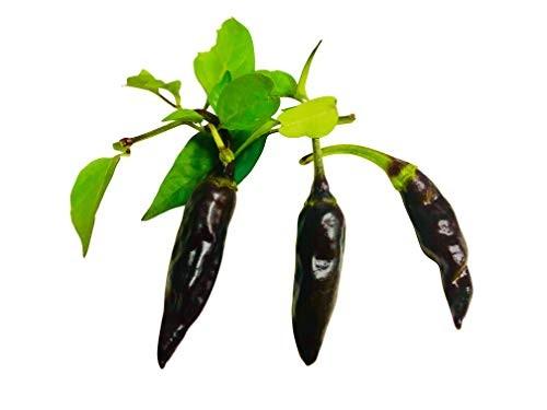 Thai Chili Purple SCS  10 Samen