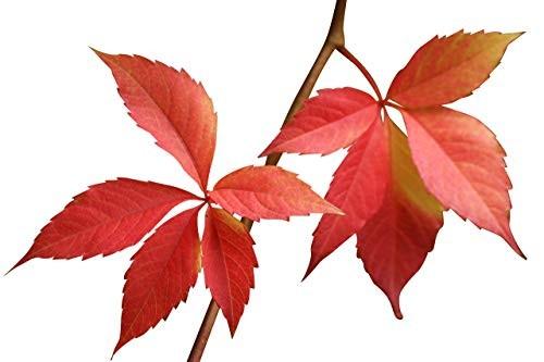 Jungfernrebe -Parthenocissus quinquefolia- 15 Samen