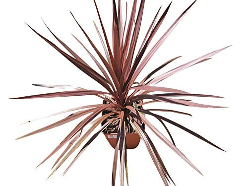Rote Keulenlilie -Cordyline australis 'Purpurea'- 10 Samen