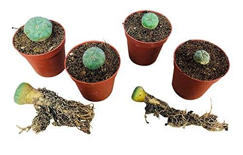 Lophophora diffusa 10 Samen