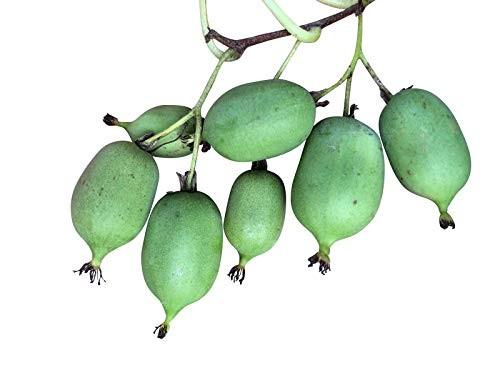 Mini Kiwi -actinidia arguta- 10 Samen