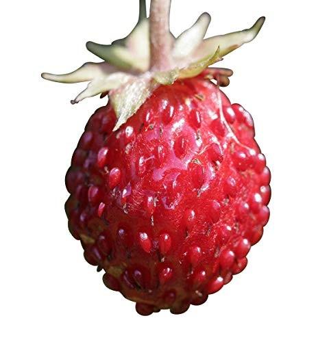 Wald Erdbeere -Fragaria vesca- 40 Samen