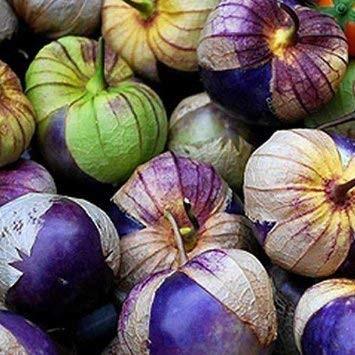 Purple Tomatillo -Physalis ixocarpa- 10 Samen