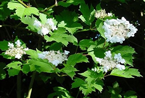 Gewöhnliche Schneeball -Viburnum opulus- 10 Samen