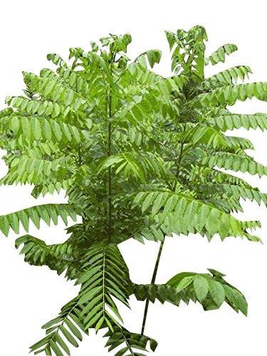 Westindische Zeder -Cedrela odorata- 10 Samen